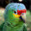 The Red-lored Amazon Parrot