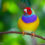 Colour inheritance in the Gouldian Finch: A breeder's guide – Article by Gustav Schellack With photographs courtesy of Marek Buranský