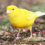 Preparing Canaries for Breeding